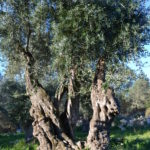 Centenary olive grove, Paxos