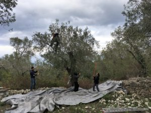 Picking olives in Paxos island
