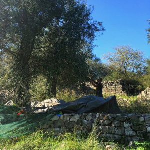 olive-picking Greek olive trees oil production paxos island